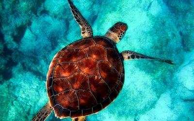 Groene schildpadden in Akumal